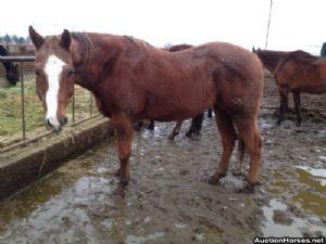 Auction Horses